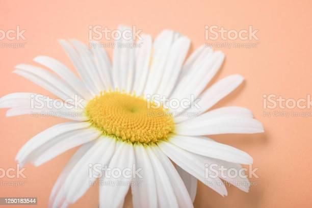 Flower of the wild daisy closeup camomile post card wallpaper concept picture id1250183544?b=1&k=6&m=1250183544&s=612x612&h=h o3l0vqdoj1pt2dwcmlsm1j5m8j6zix7 60abyqq3s=