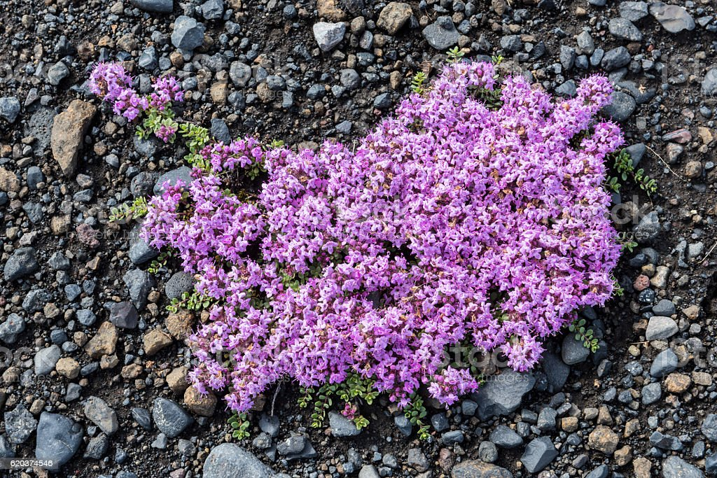 Flower of Thymus Praecox foto de stock royalty-free