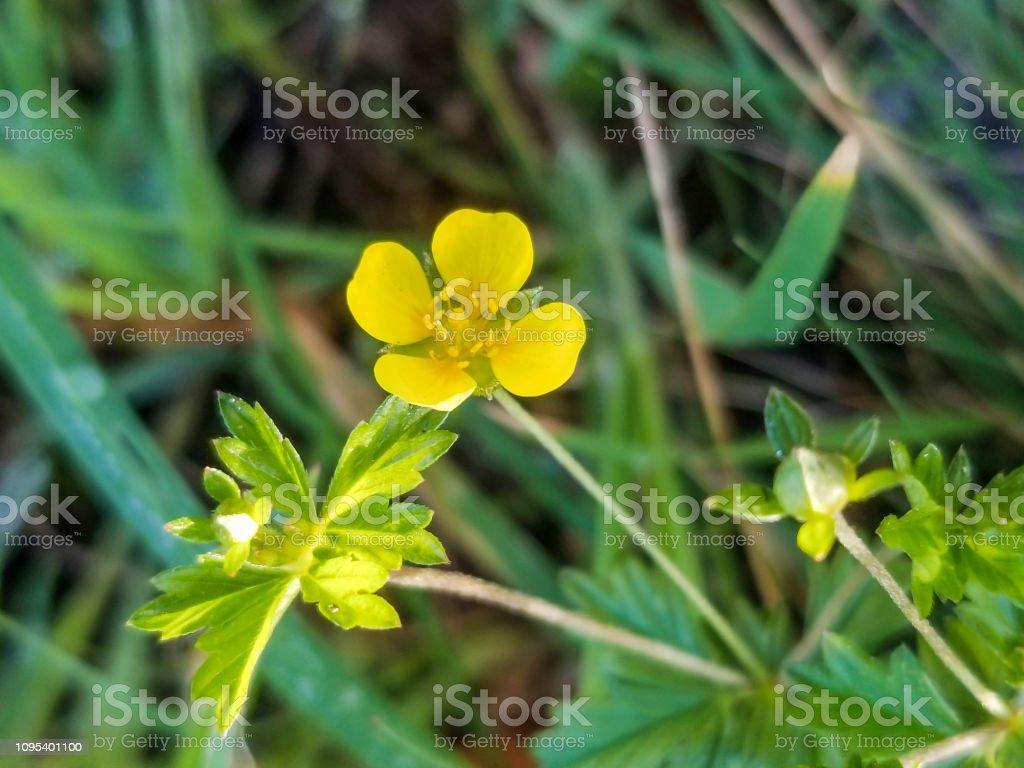 Flor de Tormentilla, septfoil o Potentilla erecta - foto de stock
