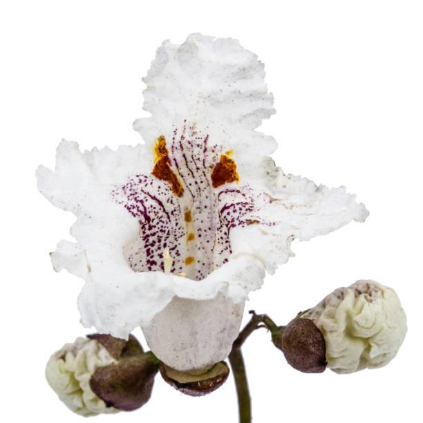 blume baum catalpa, lat. catalpa speciosa, isoliert auf weißem hintergrund - trompetenbaum stock-fotos und bilder