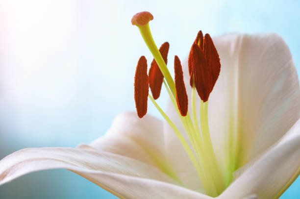 flower of white lily, in latin lilium navona. flower background - stamen stock photos and pictures
