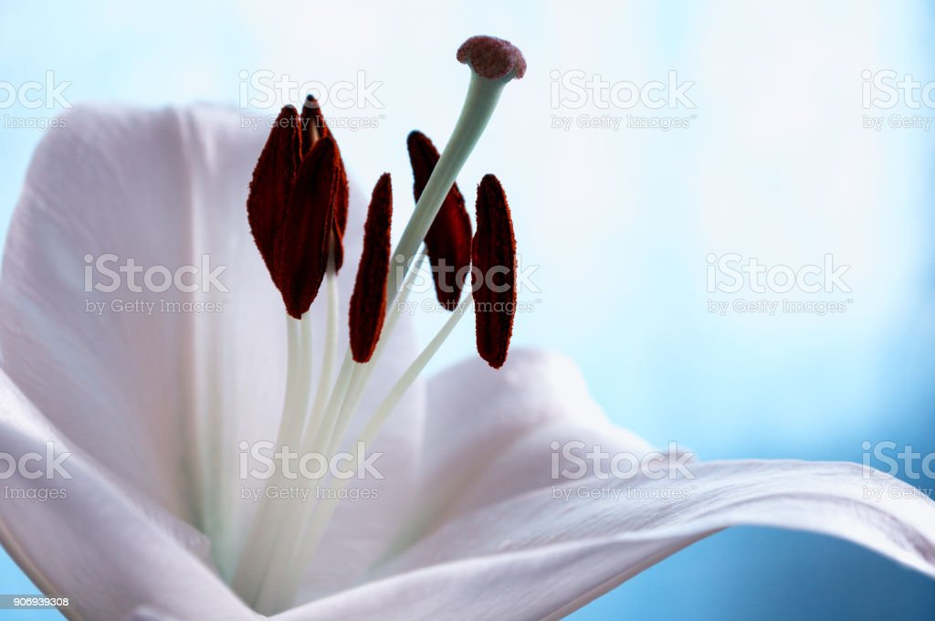 Flower of white lily, in latin Lilium Navona stock photo