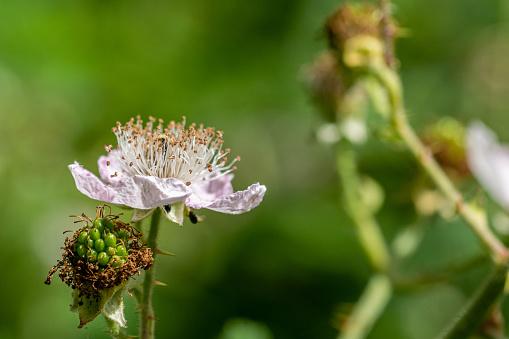 istock Flower of wild blackberry 1168805719