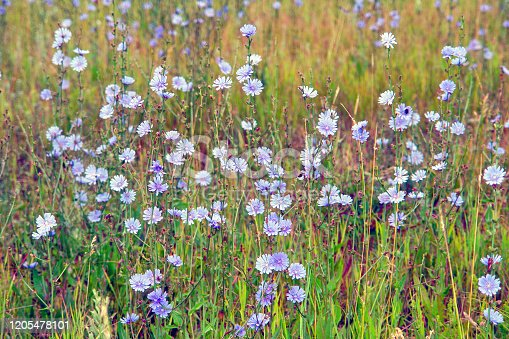 Blue flowers on natural background. Flower of wild chicory endive. Meadow grass. Cichorium intybus
