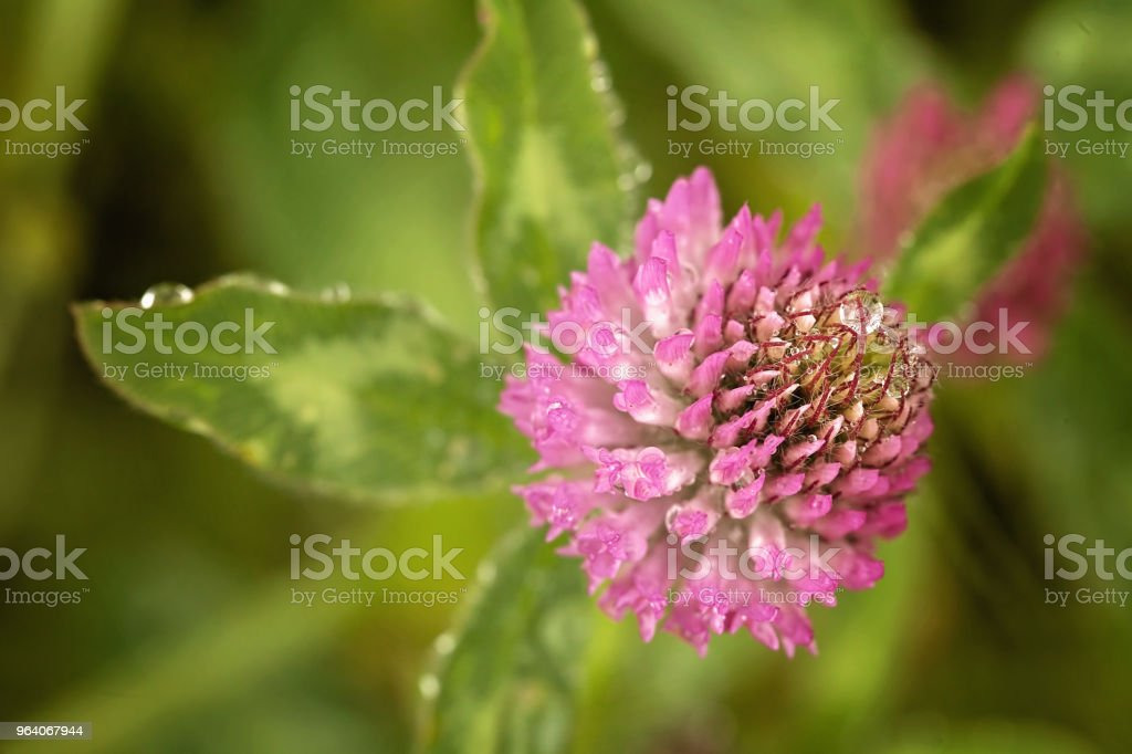 flower of  wild clover - Royalty-free Aromatherapy Stock Photo