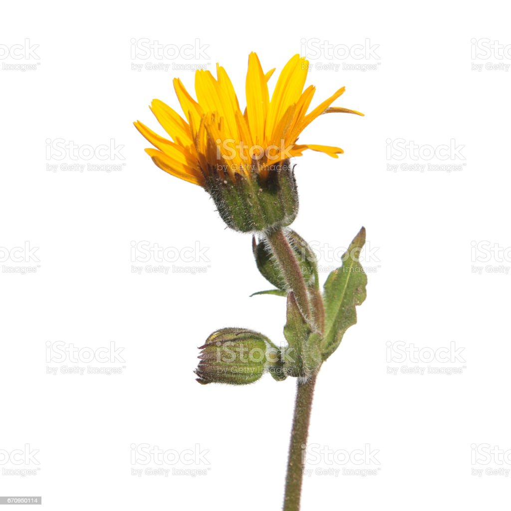 Flower of wolf's bane (Arnica montana) isolated on white background stock photo