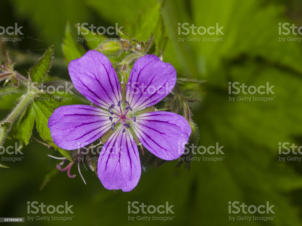 Flower of Wood cranesbill, Geranium sylvaticum, with defocused background macro stock photo