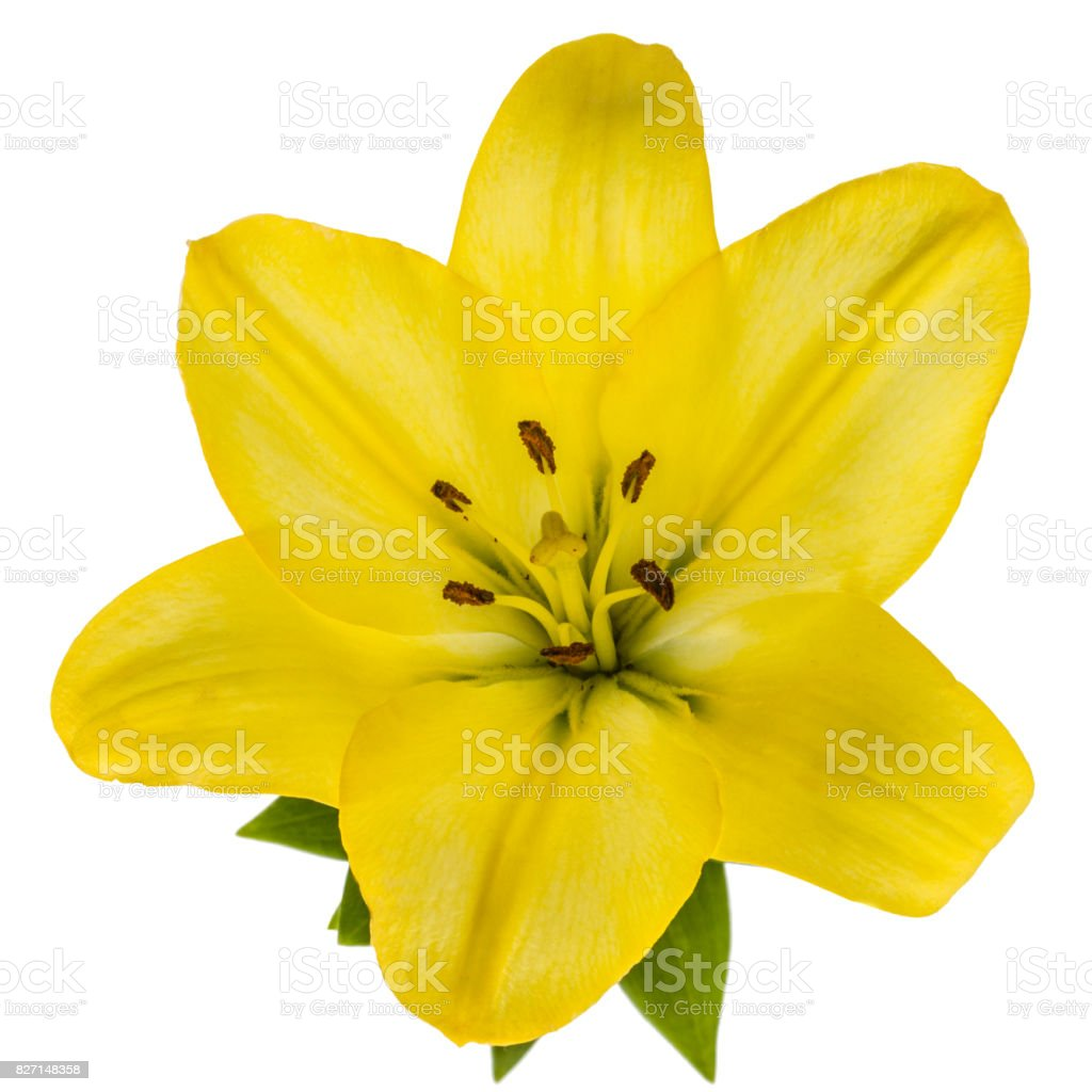 Flower of yellow oriental lily isolated on white background stock flower of yellow oriental lily isolated on white background royalty free stock photo izmirmasajfo