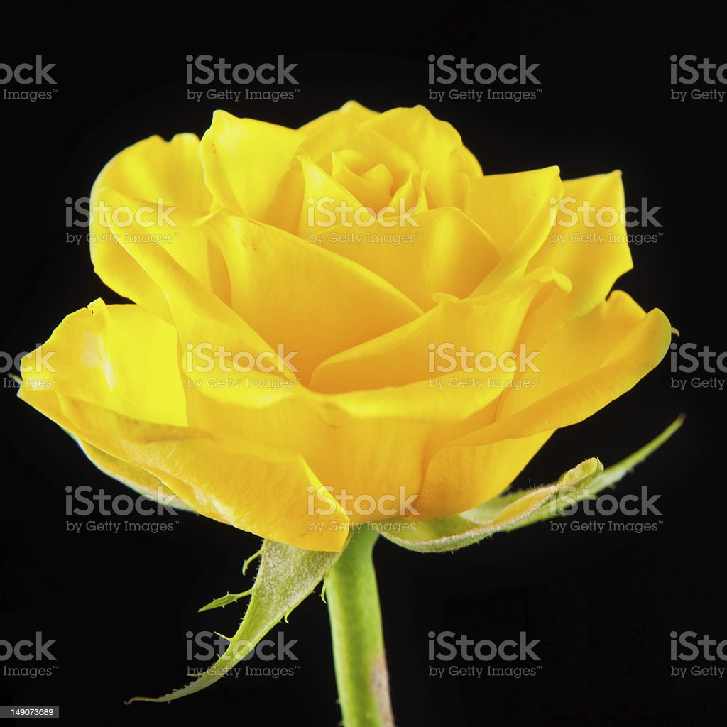 Royalty Free Yellow Rose On The Black Background Pictures ...