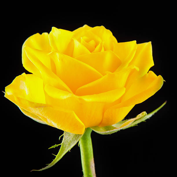 Royalty free single yellow rose pictures images and stock photos flower of yellow rose on a black background stock photo mightylinksfo