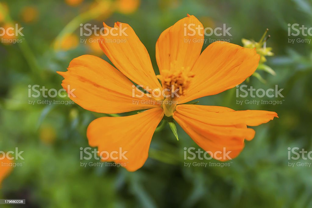 Flower of zinnia royalty-free stock photo