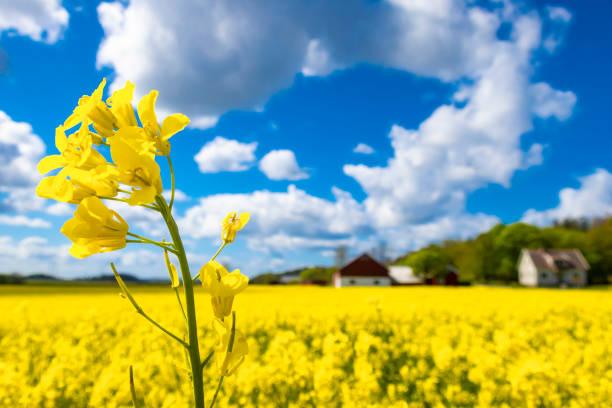 Flower oilseed rape stock photo