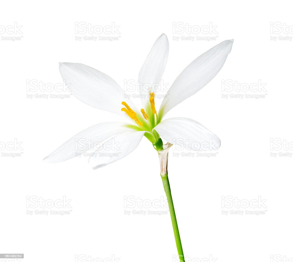 Flower on a white background. stock photo