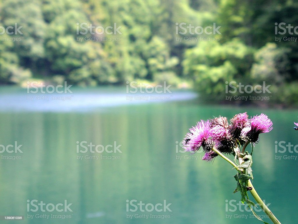 A flower on the lake royalty-free stock photo