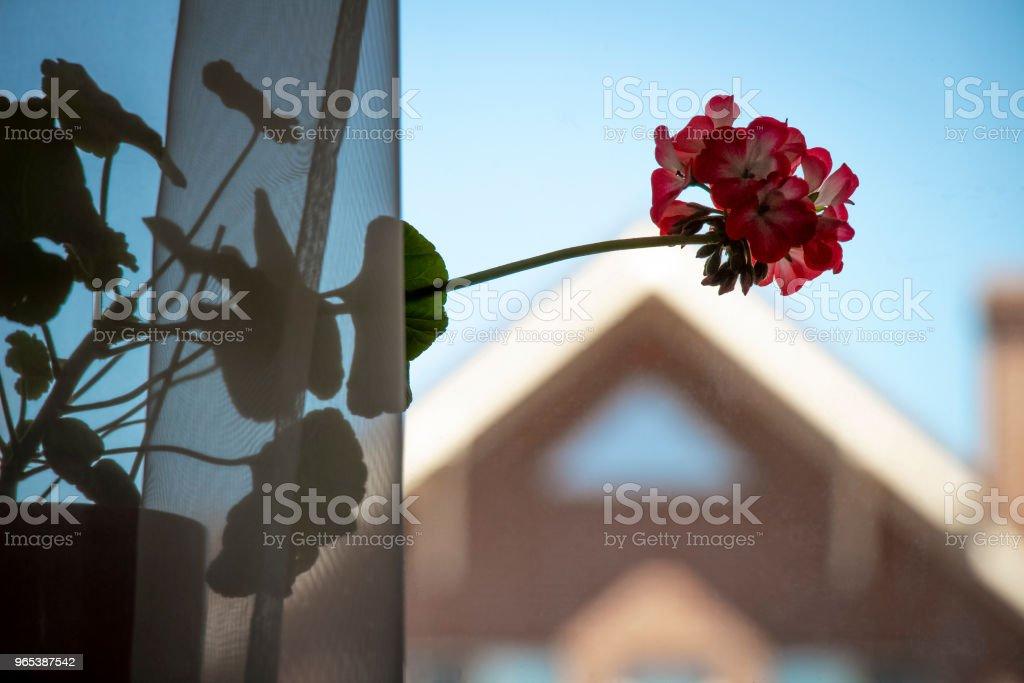 Flower on the windowsill zbiór zdjęć royalty-free