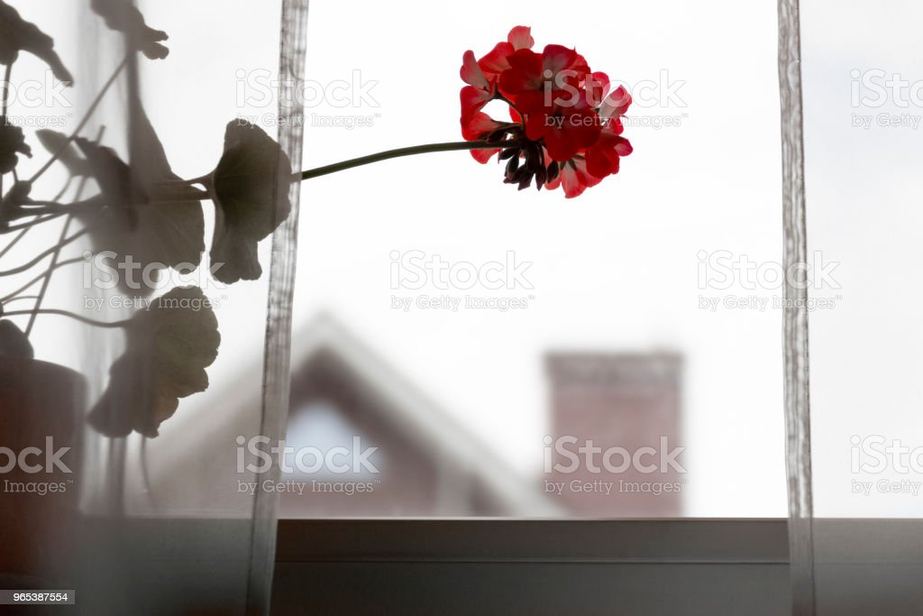Flower on the windowsill royalty-free stock photo