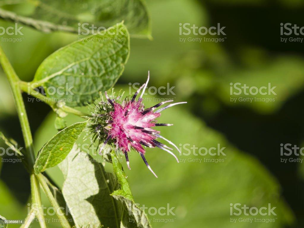 Flower on Wood Burdock, Arctium nemorosum, macro, selective focus, shallow DOF stock photo