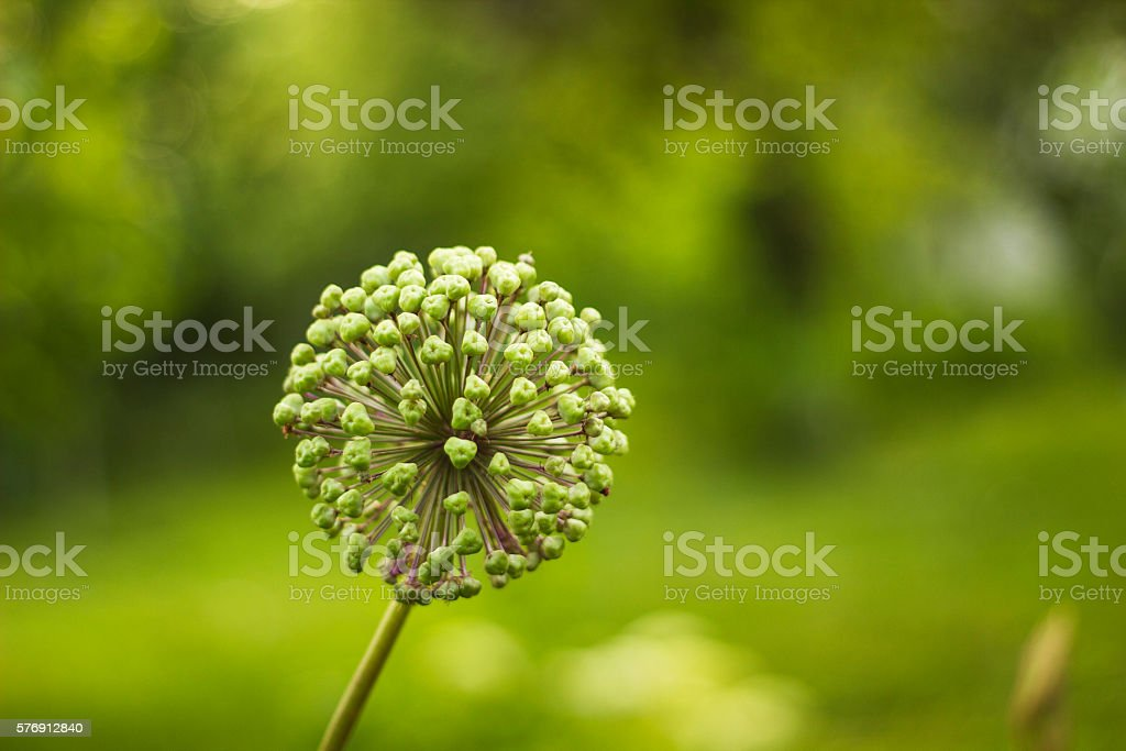 Flower onion giant deflorate. Allium giganteum seed head. Giant Onion stock photo