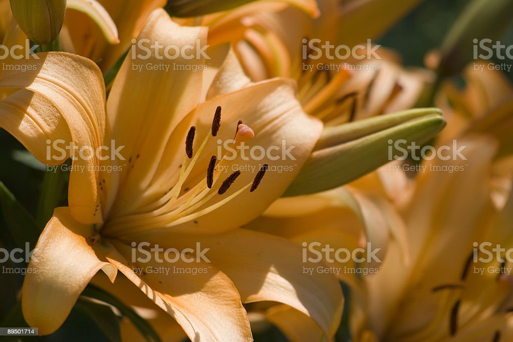 flower- orange tiger lilies in the morning royalty-free stock photo