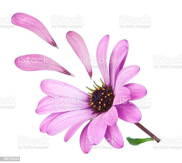 Flower osteospermum with fallen petals purple lost love picture id168735644?b=1&k=6&m=168735644&s=612x612&h=ji jj5tnvieyvhci kyqemlaskmjbbzzhkfuzv5y4p8=
