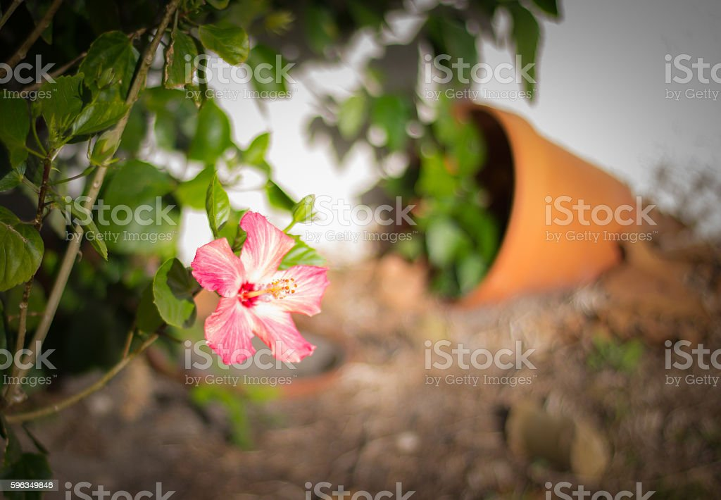 flower out of the pot royalty-free stock photo