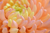 Flower Pastel Chrysanthemum Orange Coral Yellow Gradient Ombre Spring Autumn Floral Pattern Soft Focus Macro Photography Extreme Close-up