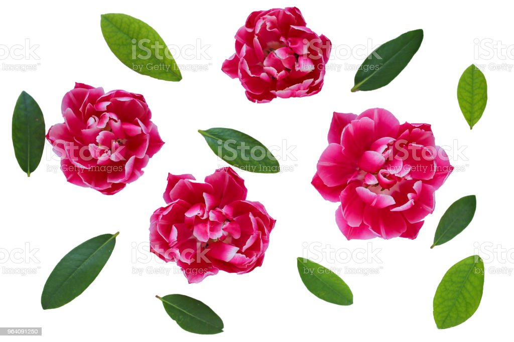 Flower pattern. Pink tulips and green leaf isolated on white background. View from above - Royalty-free Above Stock Photo