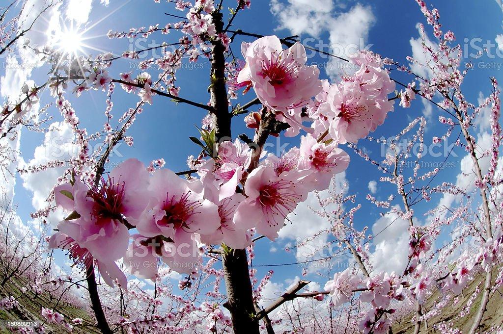 Flower : Peach Tree Pink Blossom royalty-free stock photo