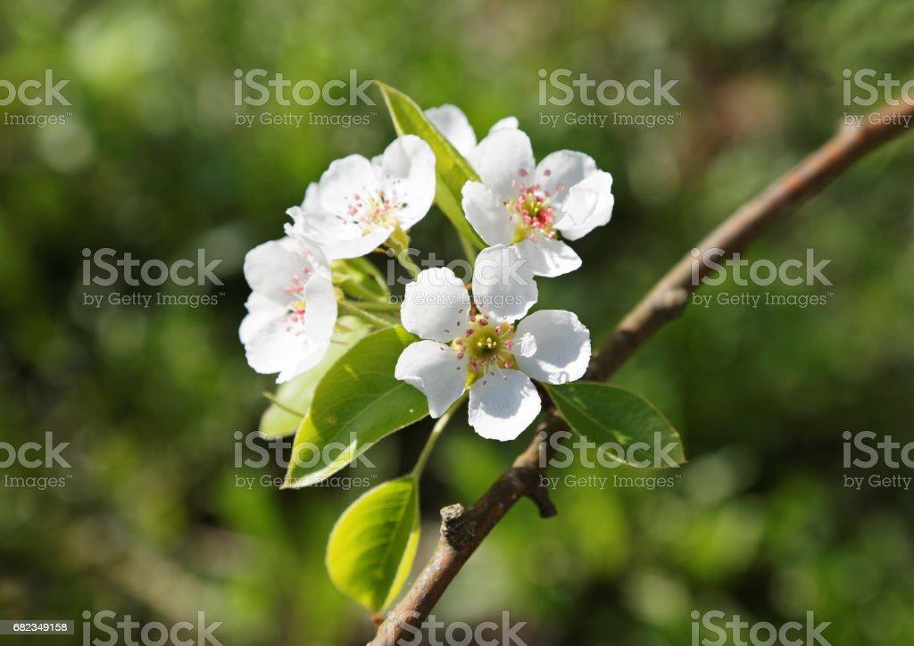 bloem pear voorjaar zonnige dag close-up royalty free stockfoto