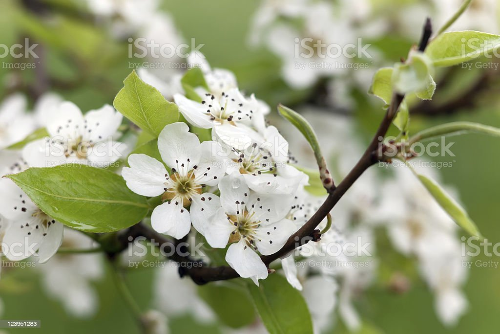 Flower pears royalty-free stock photo