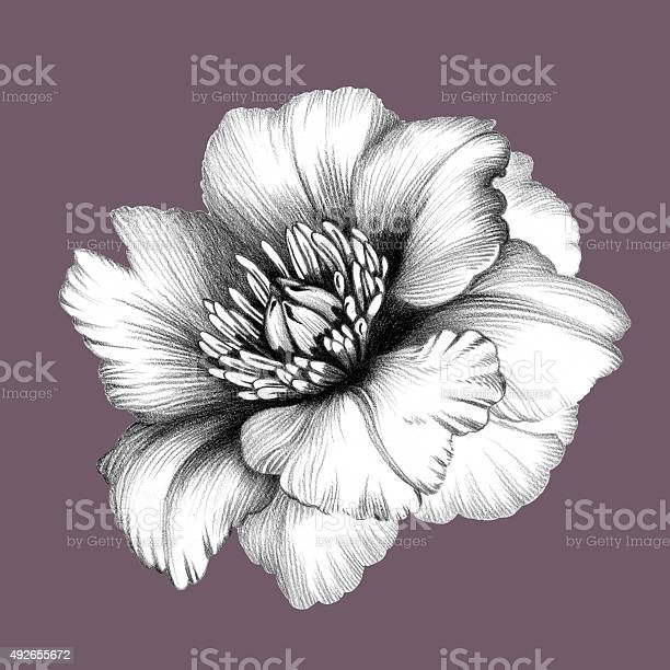 Flower pencil drawing picture id492655672?b=1&k=6&m=492655672&s=612x612&h= glhr3wwmge3ro4beozmsw5i spgi 1zy3vhlfpmm8a=