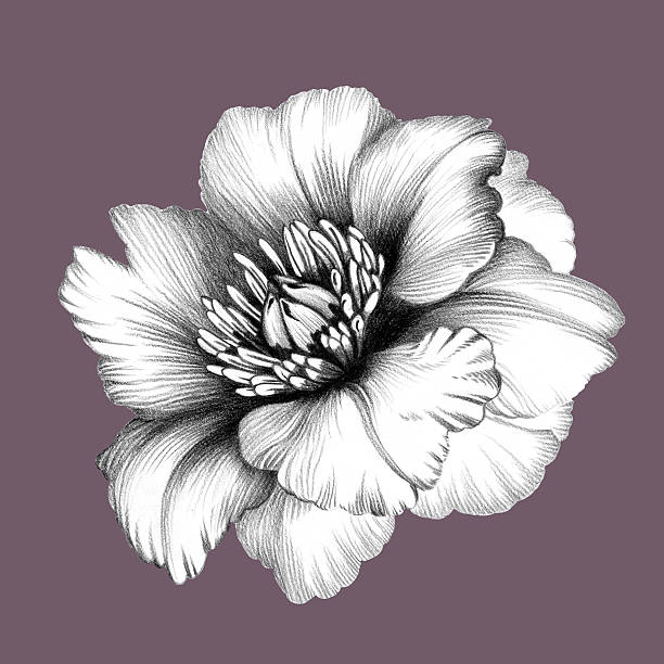 Flower. Pencil Drawing. stock photo