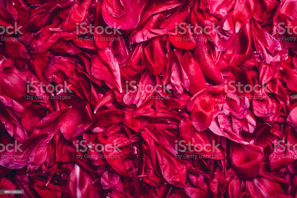Flower peony background. Pink petal texture. Floral pattern zbiór zdjęć royalty-free