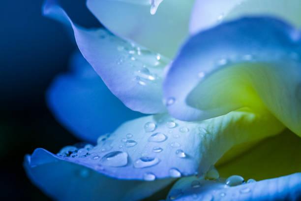 bloemblaadje met druppels - dauw stockfoto's en -beelden