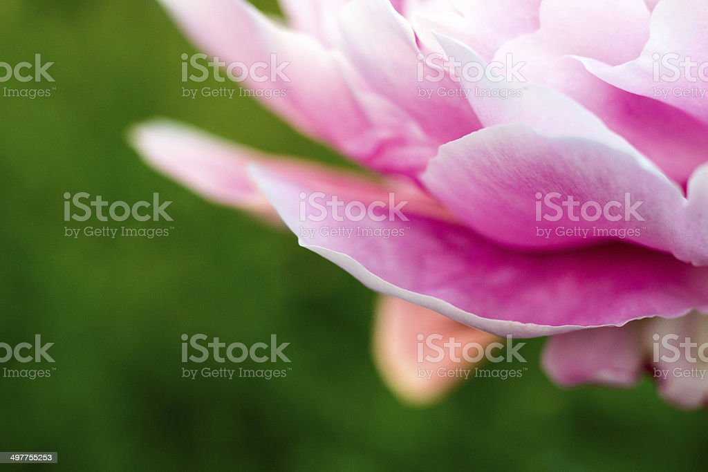 Flower Petals of a Pink Peony stock photo