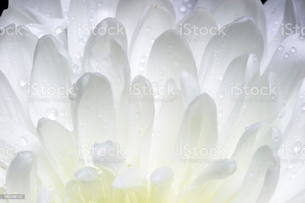 Blütenblätter, Wassertropfen – Foto