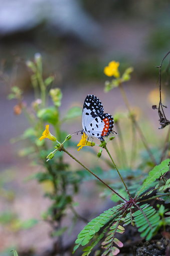Monarch butterfly seeking nectar on a butterfly seeking nectar on a sensitivum flower with copy space, beautiful picture.sensitivum flower with copy space, beautiful picture.