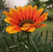 Yellowish Orange flower fully bloomed in garden