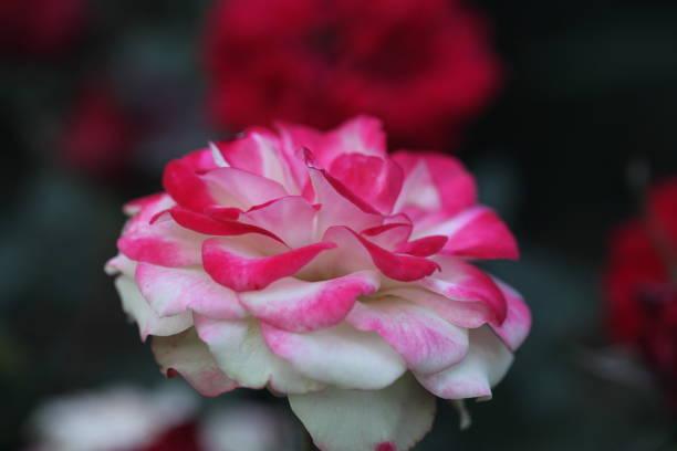 Flower picture id1302813354?b=1&k=6&m=1302813354&s=612x612&w=0&h=nexoahqopqurk 1sgq59 mnxqgdzzw1hgc5s68ujoym=