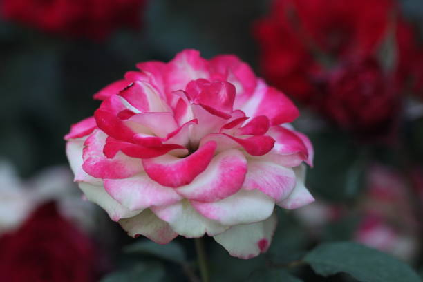 Flower picture id1302813449?b=1&k=6&m=1302813449&s=612x612&w=0&h=1wquk06kjdoxmjaf68srmr7ujwruotbkgvxns2vhrug=