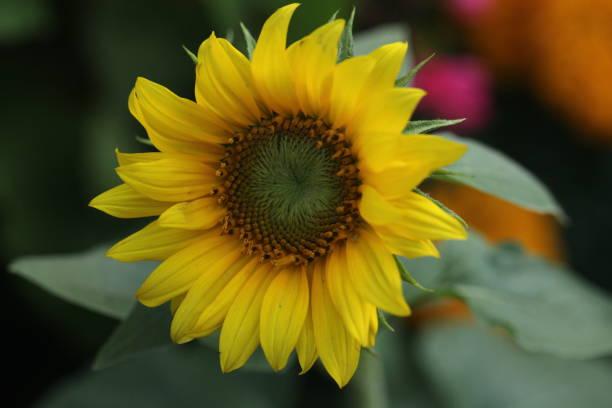 Flower picture id1302813512?b=1&k=6&m=1302813512&s=612x612&w=0&h=ytozo3i8cluces3lnyiyfmjx4opmptxvbpekqzyjpbq=