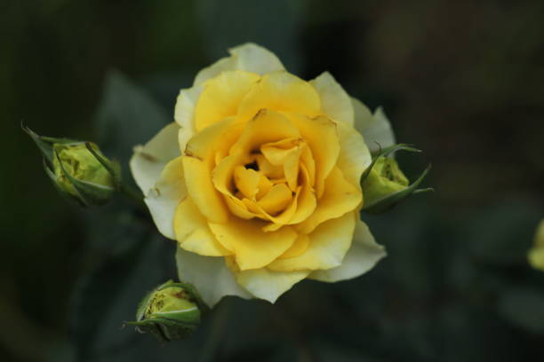 Flower picture id1302813529?b=1&k=6&m=1302813529&s=612x612&w=0&h=0vc3btorunesxcrmg6svnyz4kjzzovkazlixtphaxle=