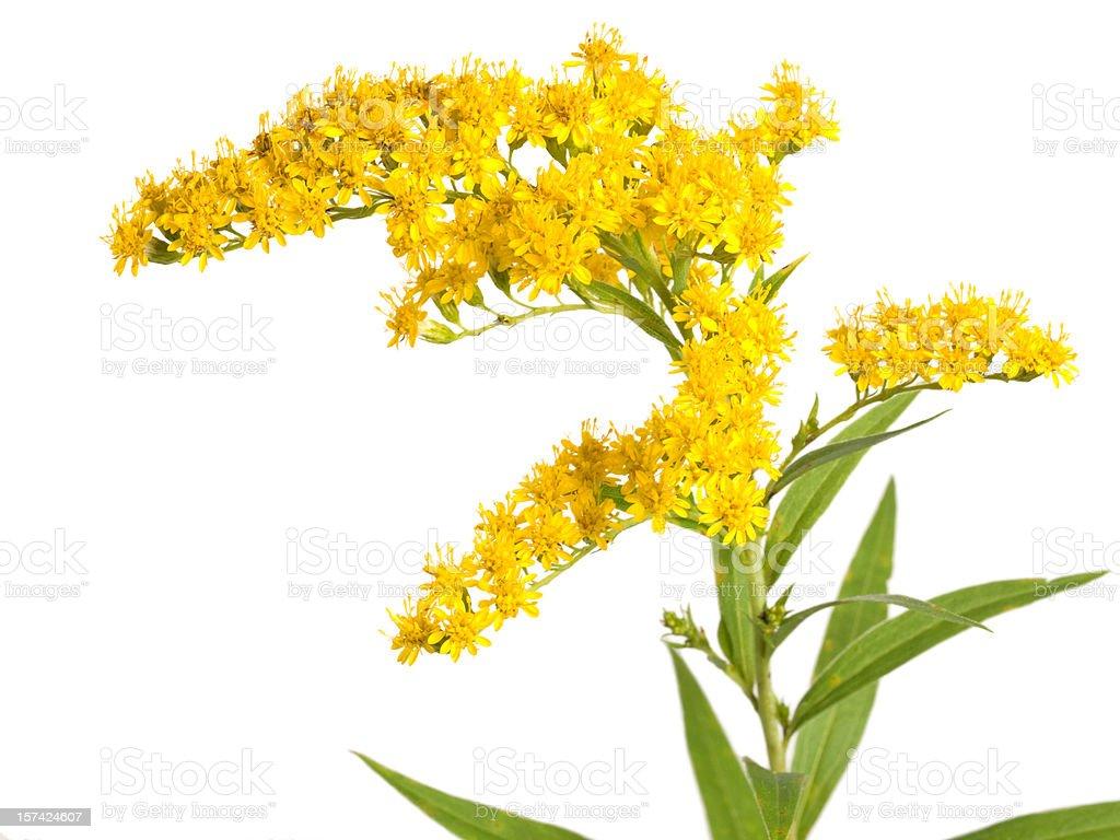 Flower (Solidago gigantea) royalty-free stock photo
