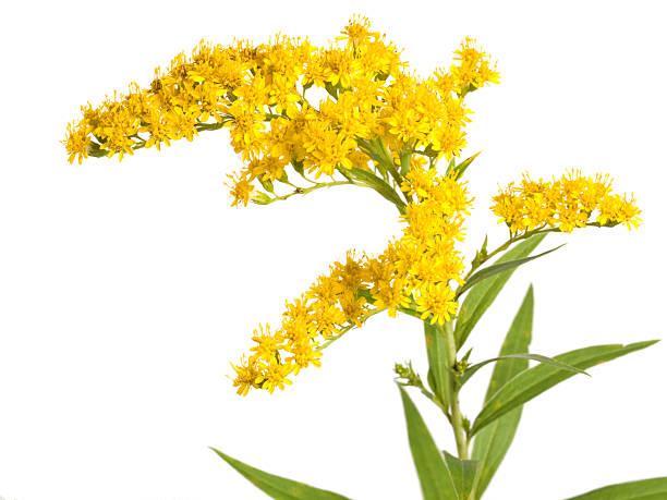 Cтоковое фото Цветок (Solidago gigantea