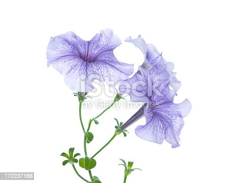 Lilac campanula on a white background