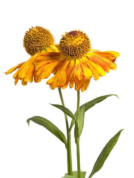Cтоковое фото Цветок (Helenium autumnale