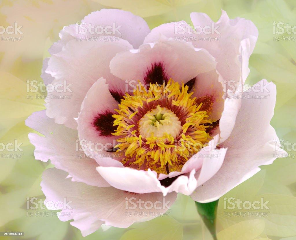 flower, пион, древовидный , красивый, необычный stock photo