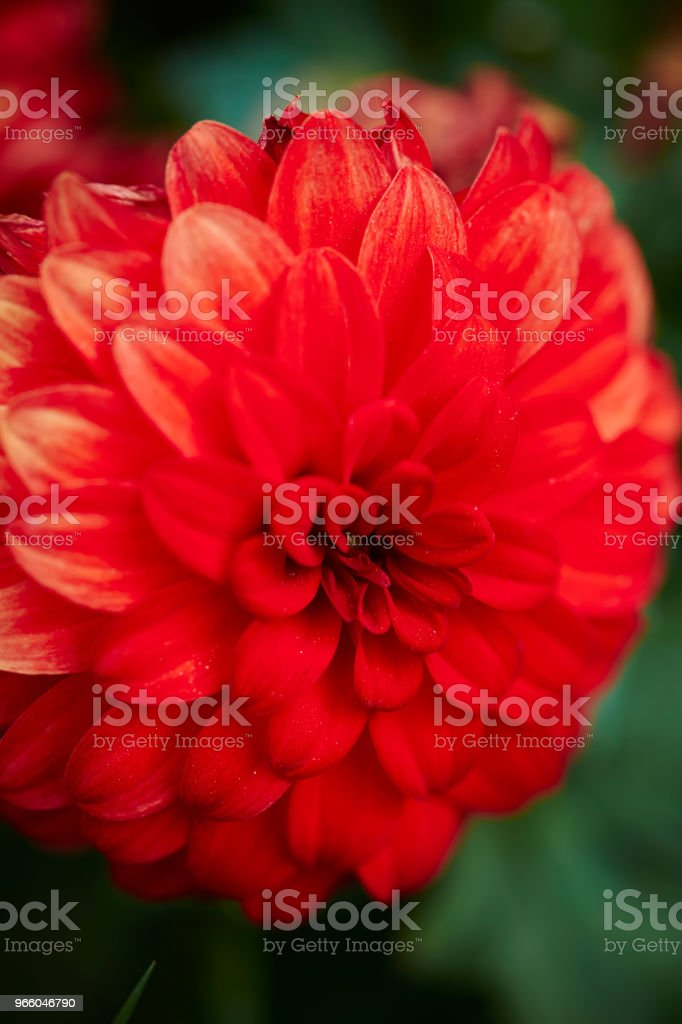 Flower - Royalty-free Beauty Stock Photo