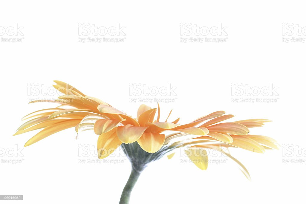 flower (gerbera) stock photo