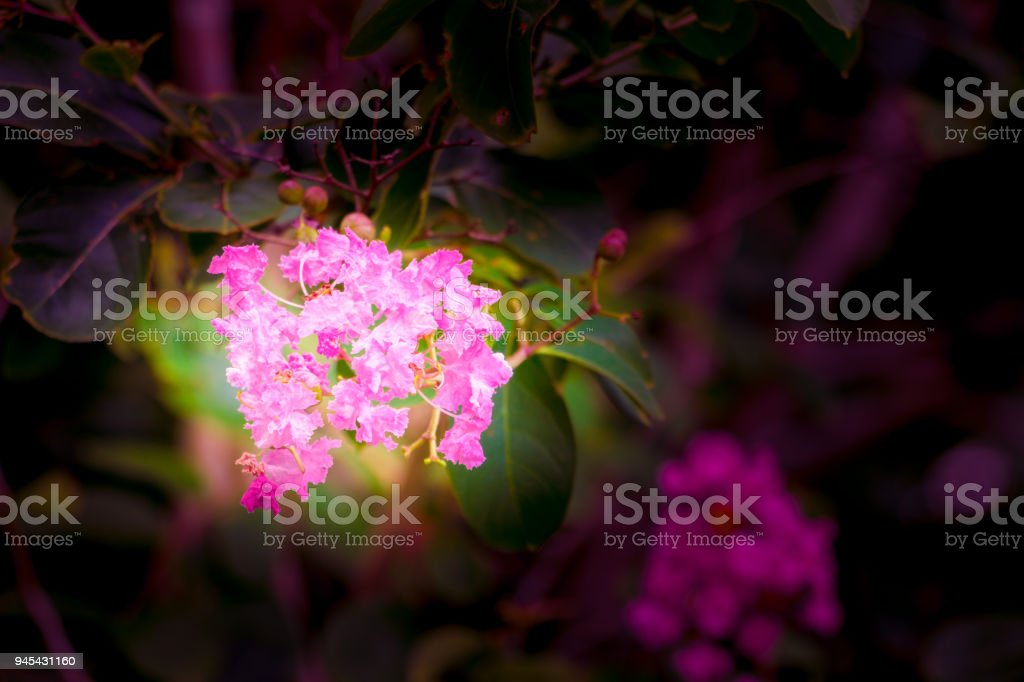 flower Pink crape myrtle Lagerstroemia speciosa or jarul  sunlight Vintage tone. with copy space add text Select focus with shallow depth of field stock photo